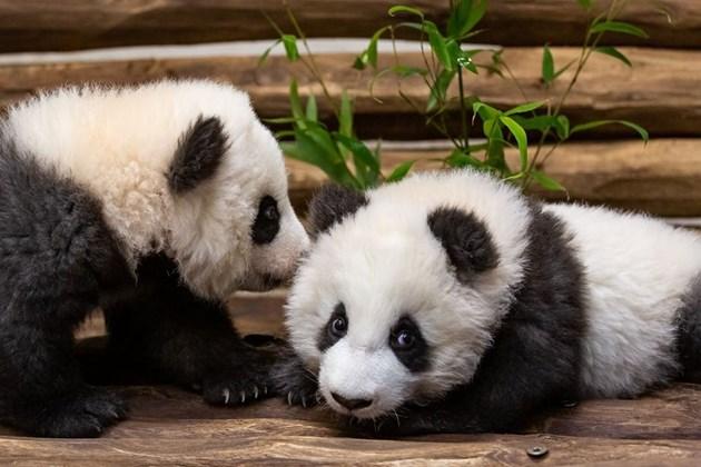 Показаха пред публика пандите близначета в Берлинския зоопарк (Видео)
