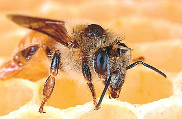 Опаразитена пчела