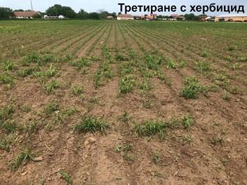 Как АМАЛГЕРОЛ ЕСЕНС засилва действието на хербицидите при третиране на царевица?
