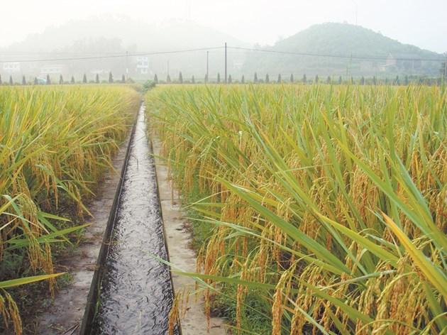 Оризът е основна зърнена култура