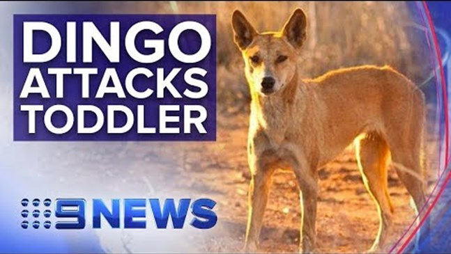 Баща измъкна бебето си от зъбите  на куче динго, извлякло го кемпера им в Австралия
