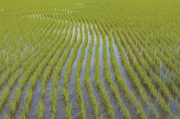 През вегетацията оризовите растения са повече от 80-100 дни под вода