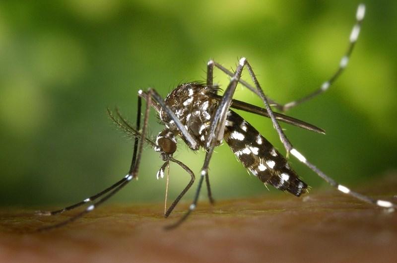 Tигровият комар има потенциал да заразява със западнонилска треска, но и с чикунгуня и други екзотични опасни инфекции.