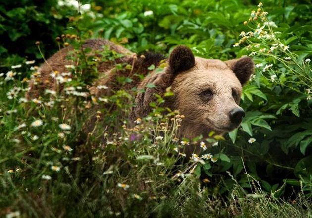 Сърцето на трилапата мечка спря