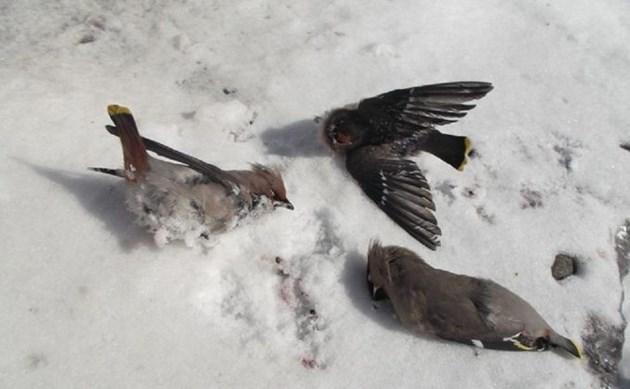 Пияни птички лежат по московските улици