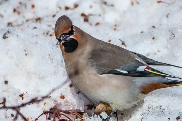 Ферментиралите плодове може да напият всяка птица