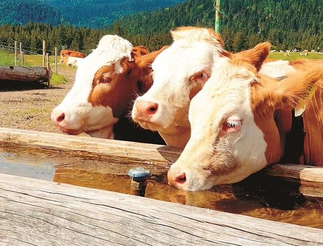 """Кравите обичат да пият вода """"в компания"""""""