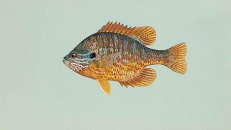 Слънчеви рибки се отглеждат и в аквариум