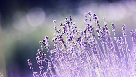 Кориандър, сода и чесън против вредители в градината