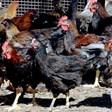 България пред тотална забрана на износа на яйца и пилешко след птичи грип в Асеновград