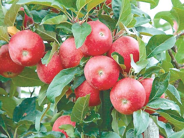 Засаждайте устойчиви на струпясване сортове ябълки като: Прима, Присила, Сърпрайз, Приам, Флорина и др.