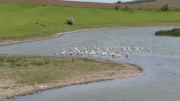Инвазия на пеликани