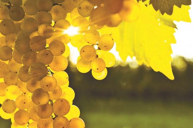 Осигурете предпоставки за пълноценно огряване на гроздето