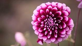 Какви цветя се  садят през есента?