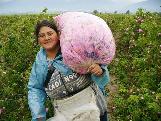 Добивът на розов цвят рязко намаля