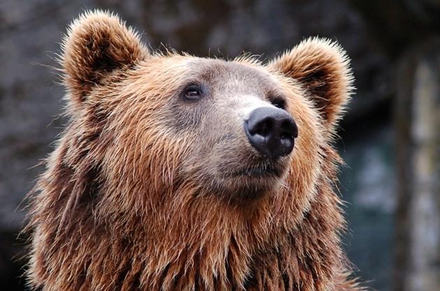 Двойка срещна мечка в гората, мъжът избягал и изоставил жена си