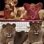 Умиращият български лъв