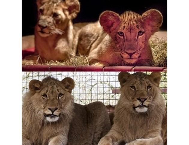 Масуд и Терез израснаха до големи лъвове