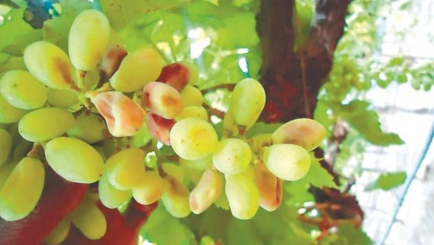 Симптоми на обикновена мана (кафяво гниене) по зърна на грозд