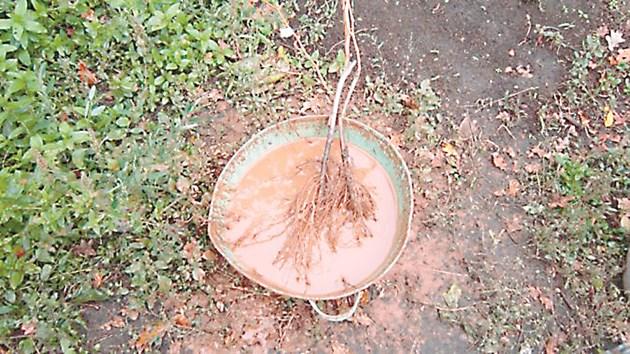 Обработка на корените със специалната смес
