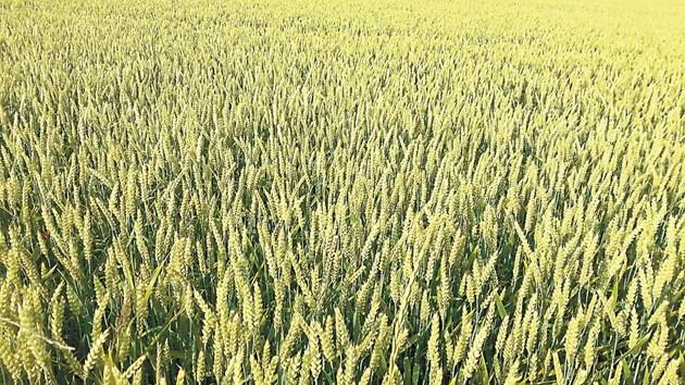 Важно е да се залага на устойчиви на суша сортове пшеница